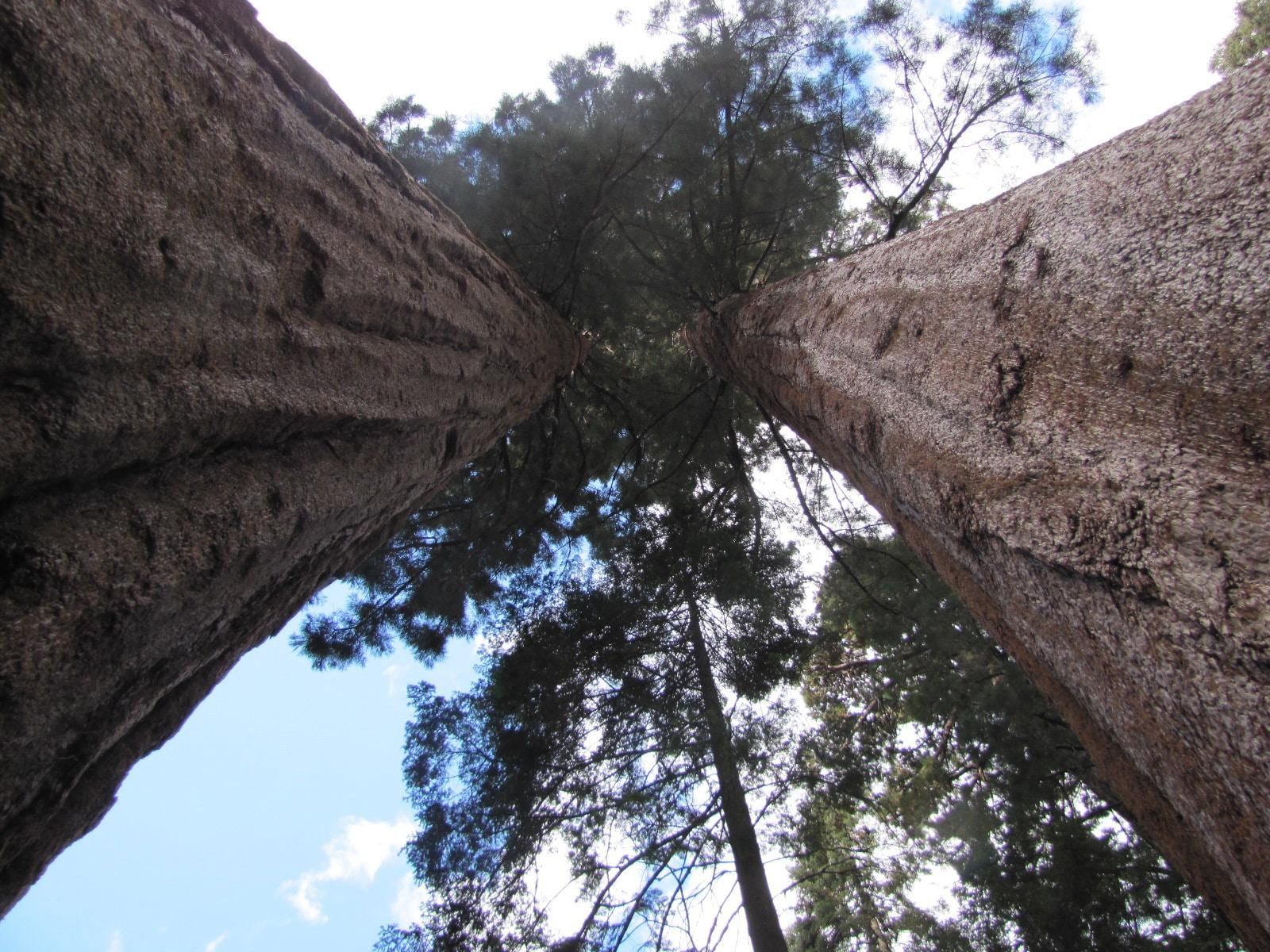 Prise de vue artistique entre deux sequoias ...