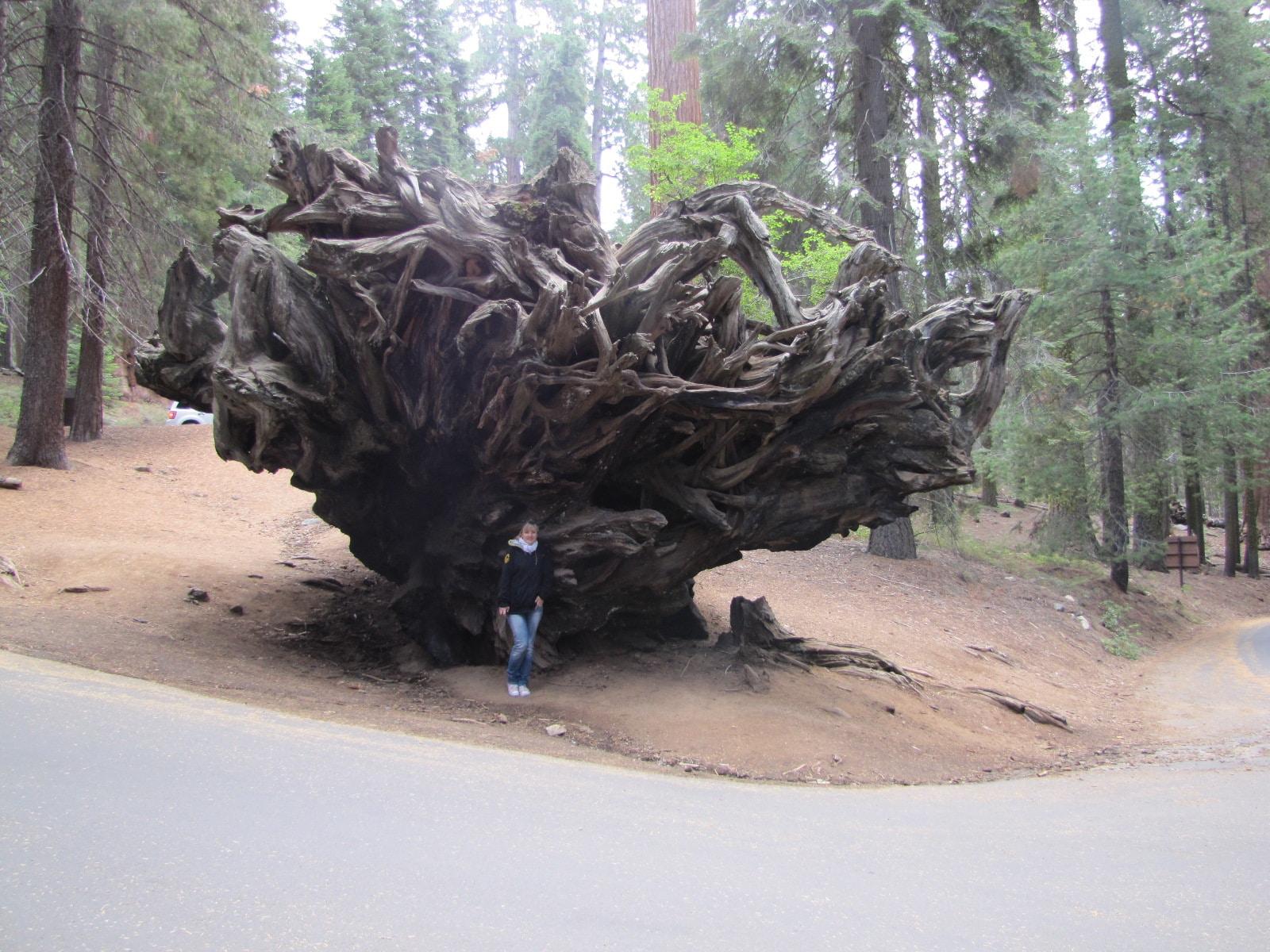 racines de l'auto-log sequoia park
