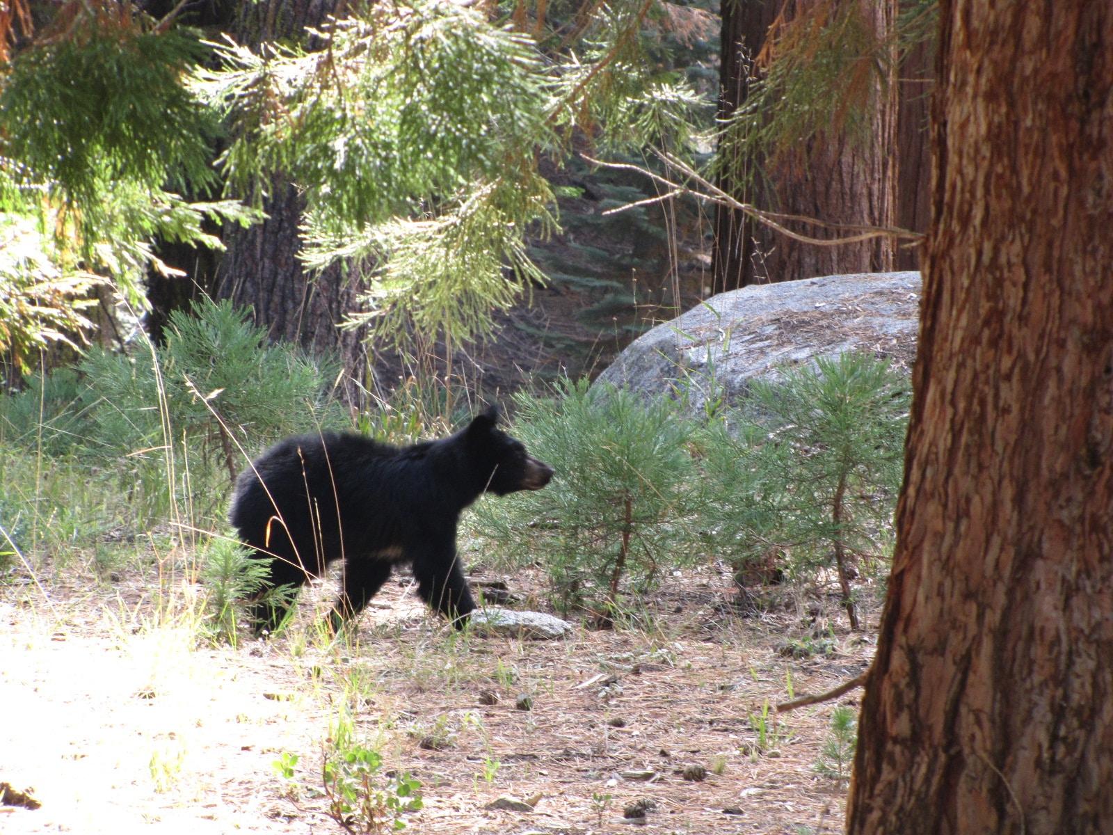 bébé ours en liberté dans le parc sequoia