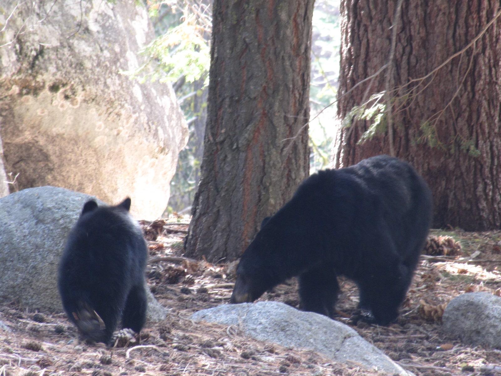bébé et maman ours pres du général sherman - Sequoia Park