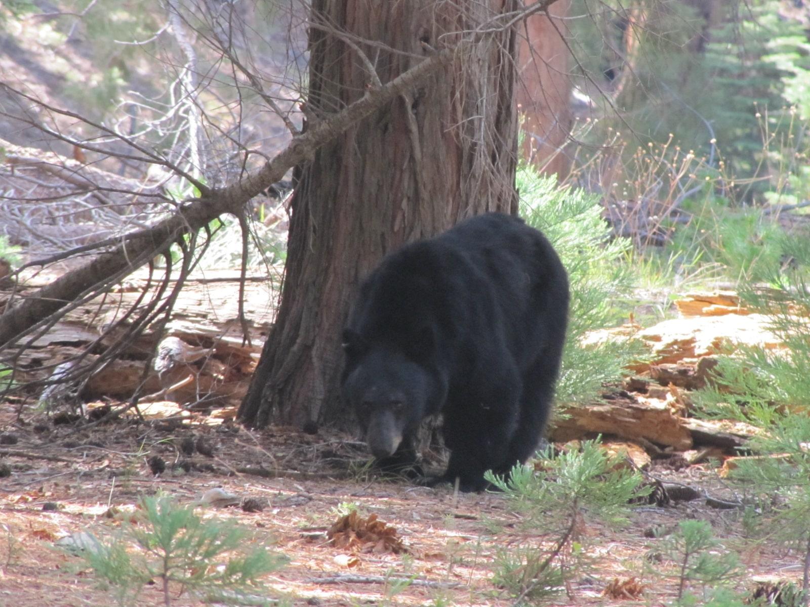 maman ours à Sequoia Park