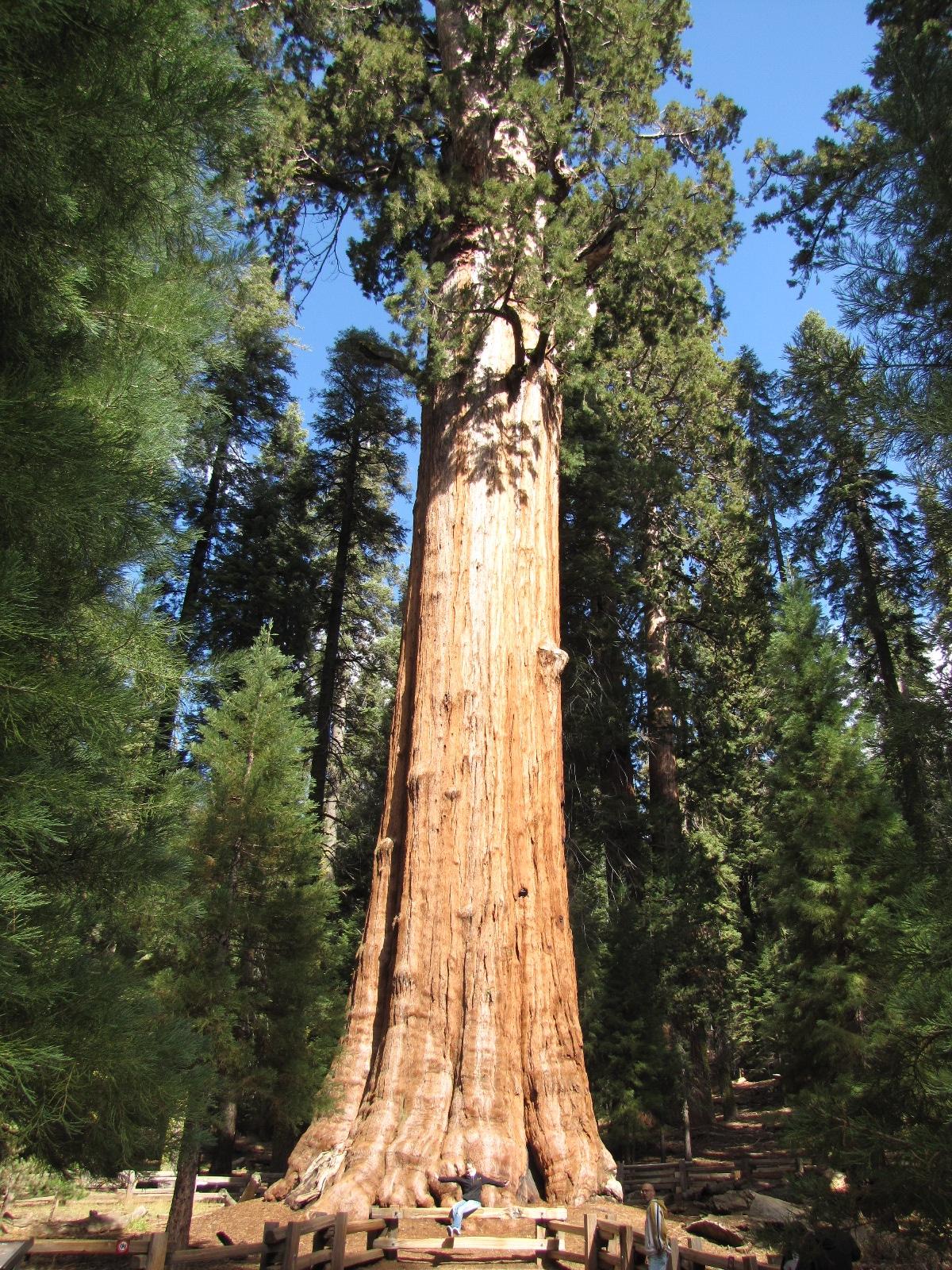 général sherman - sequoia Park