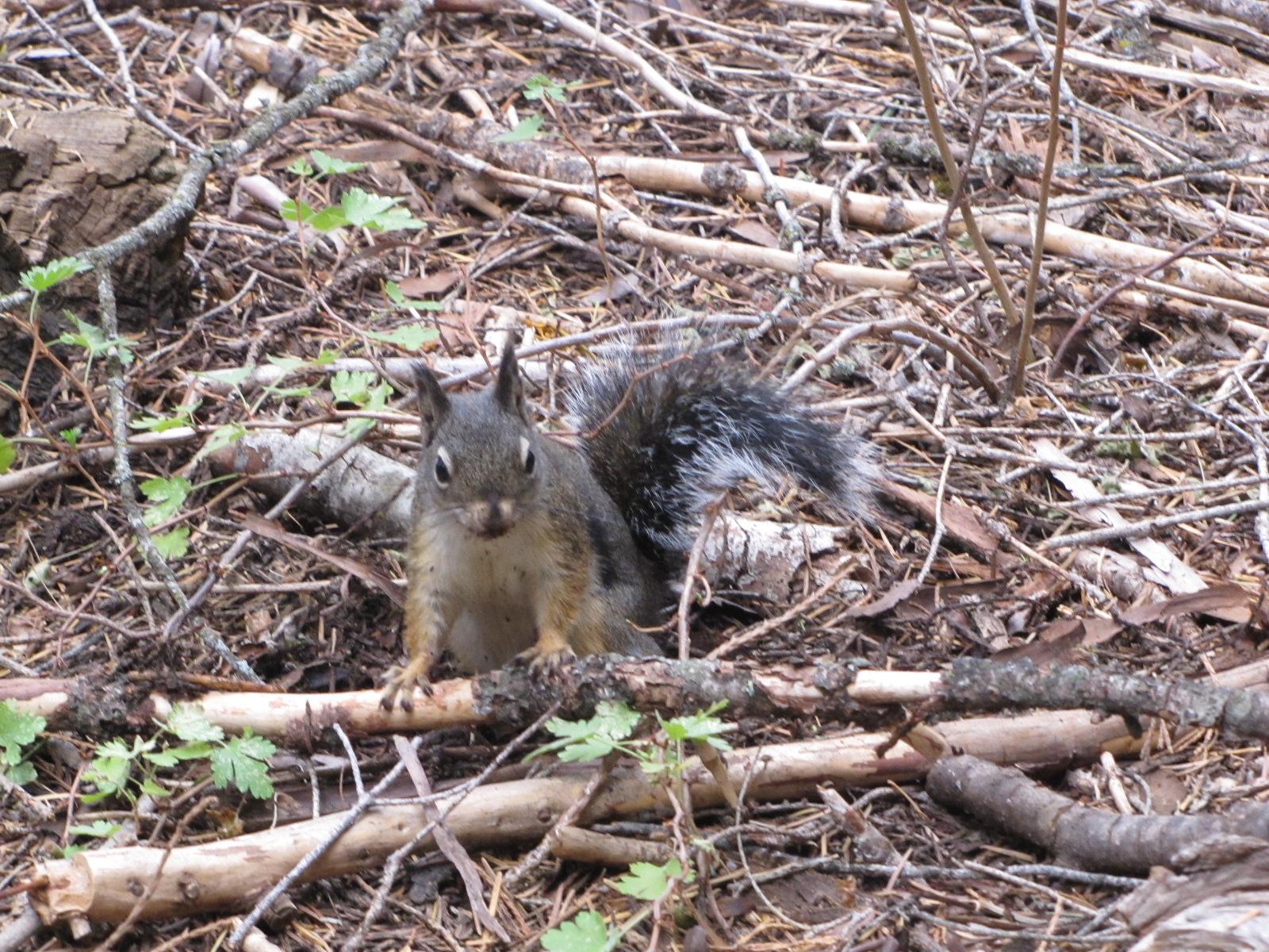 ecureil Sequoia Park
